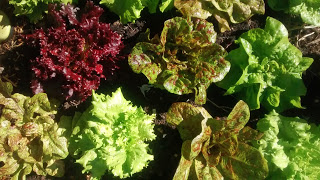Wild Garden Lettuce